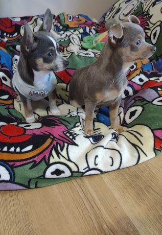 Chihuahua liliowa pies