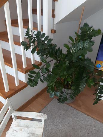 Kwiat zamioculcas zamia duży 140 cm