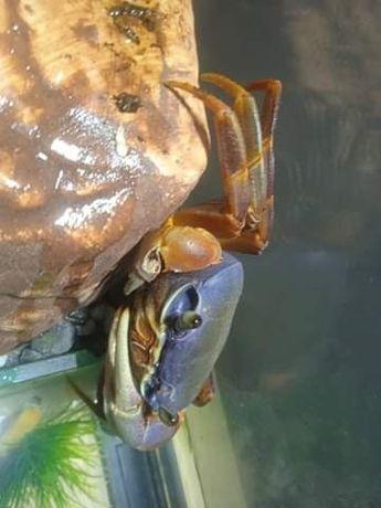 Krab tęczowy około 1 rok samica
