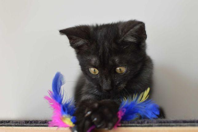 Маленький котенок, черный, девочка, метис белый подшерсток
