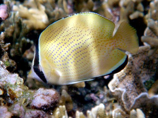 Morskie - chaetodon citrenellus ml