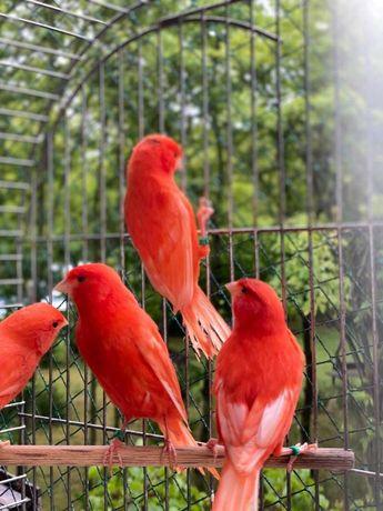 Кенары и канарейки муаровые, красные,оранжевые