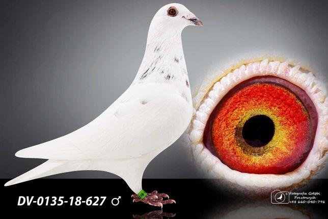 Gołębie Pocztowe Ludo Claessens,Jos thone,Młode 2021 Cz2