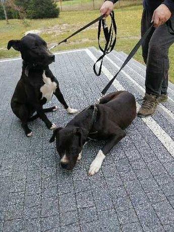 Suczka i pies mieszanka amstaff dogg