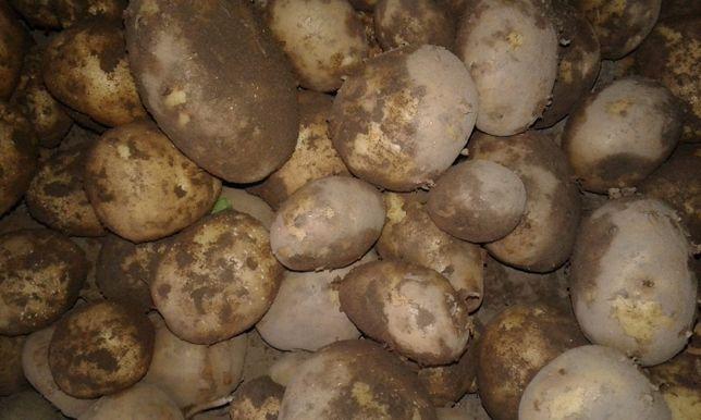 Ziemniaki prosto od producenta fv