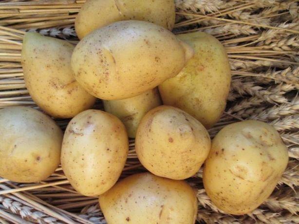 Насіннєва картопля сорт Гала 1 репродукція. Оптовим покупцям знижка.