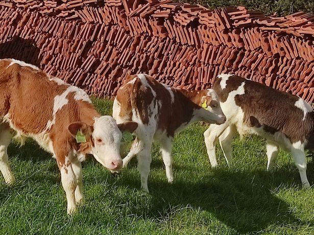 Sprzedam byczki oraz cieliczki