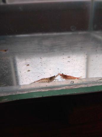 креветки неокардини