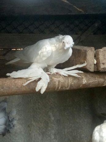 голуби узбекские