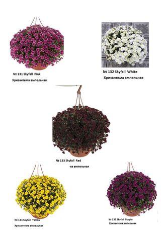 Хризантема черенок