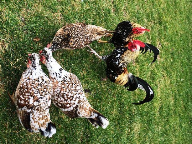 Продам карликовых кур. Бентамка. Петушок и курочка.
