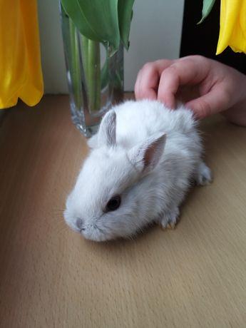 Sprzedam białego królika miniaturkę