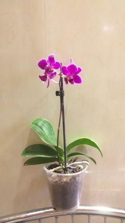 Цветущая орхидея фаленопсис миди.