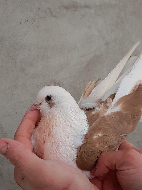 Gołębie Boki, Orliki