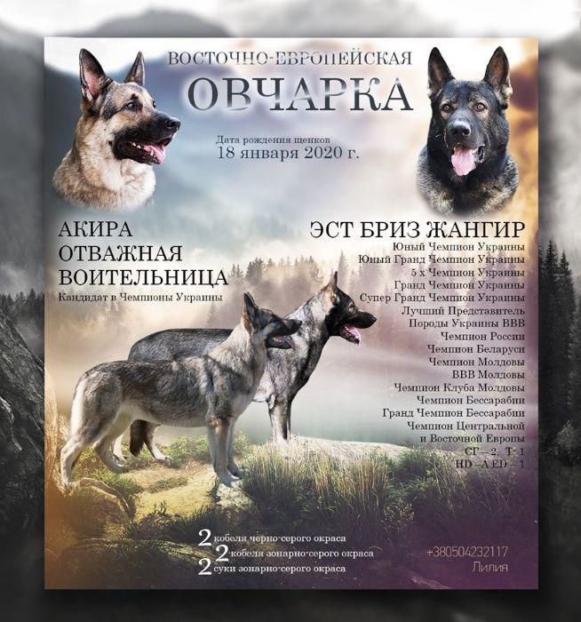 Щенки Восточно-овчарки от выставочных родителей Березовка - изображение 1