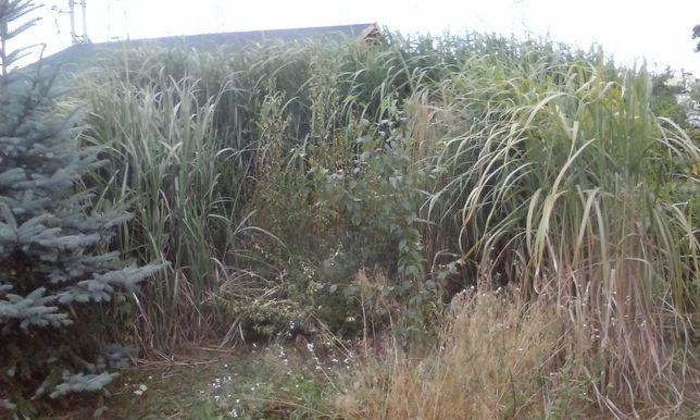 Trawa bambus miskant sadzonki ozdobna wysoka