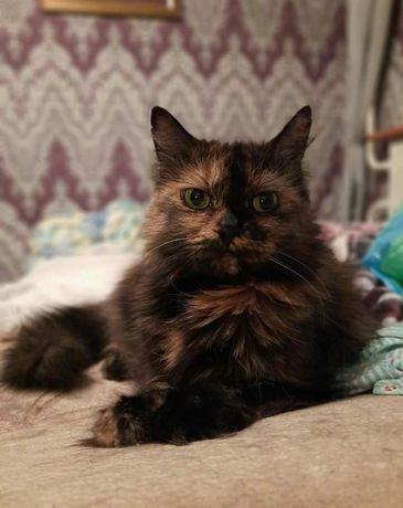 Отдам пушистую кошку черепахового окраса,метис перса,стерилизована,