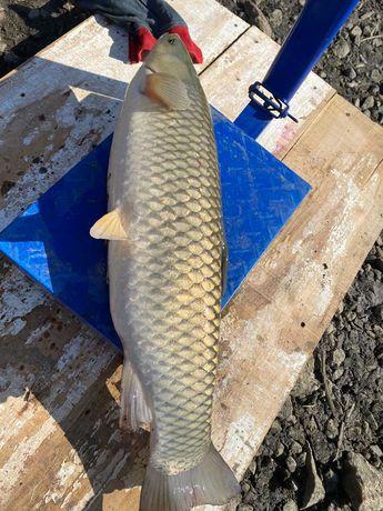 Продам товарну рибу ( короп, товстолоб, білий амур). Ціна договірна!