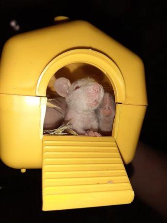 Продам мальчиков-крысят