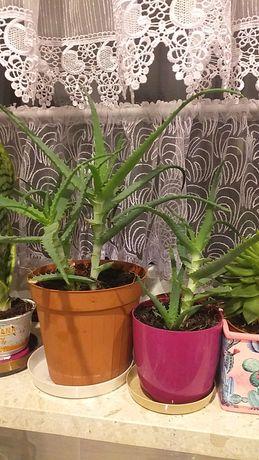 rośliny doniczkowe kwiatek Aloes sansewieria