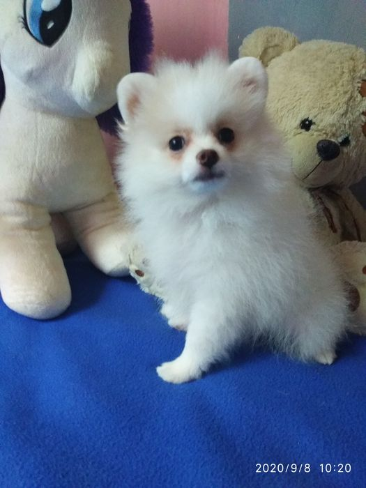 Продажа щенка  - шпица Любимовка - изображение 1