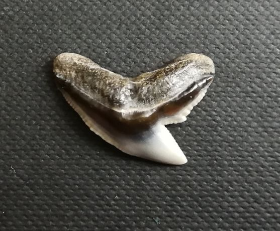 Ząb rekina, Korytnica, skamielina
