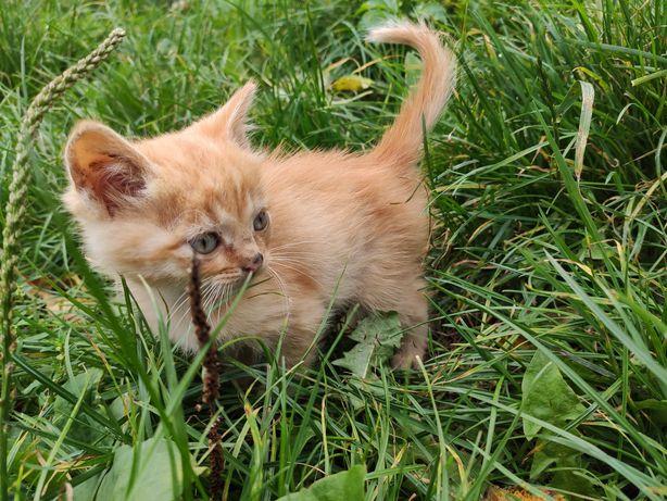 Руденькі кошенята хлопчики, котенята