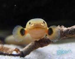 Trzciniak wąż wodny Zamienię lub Sprzedam