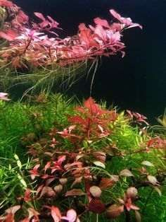 Ludwigia Mini sp. Red - sadzonka- łodyga