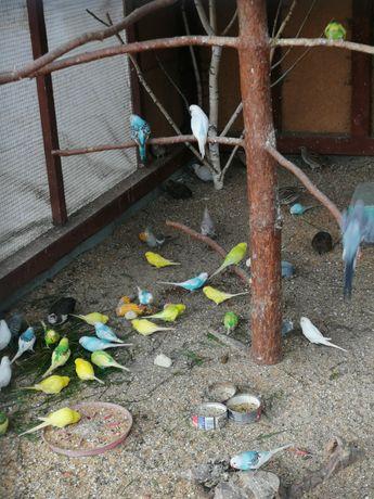 Papugi faliste z woilery zewnętrznej (nierozłączki, nimfy)