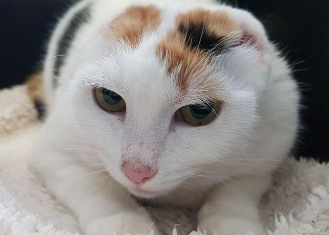 Poznań i okolice - piękna, trikolorowa kotka Tris szuka dom