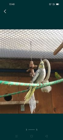 Papuga nimfa ...