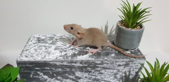 Szczury szczurki wspaniałe ogonki Dowóz pod drzwi