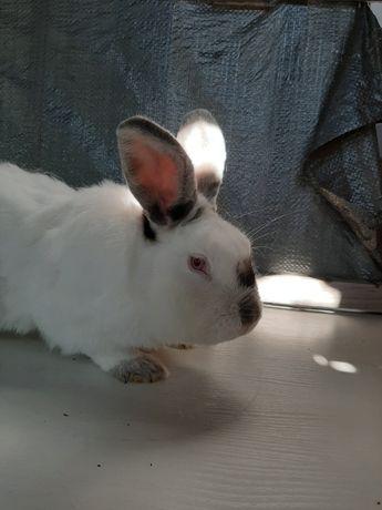 Кролики Калифорния Гавана