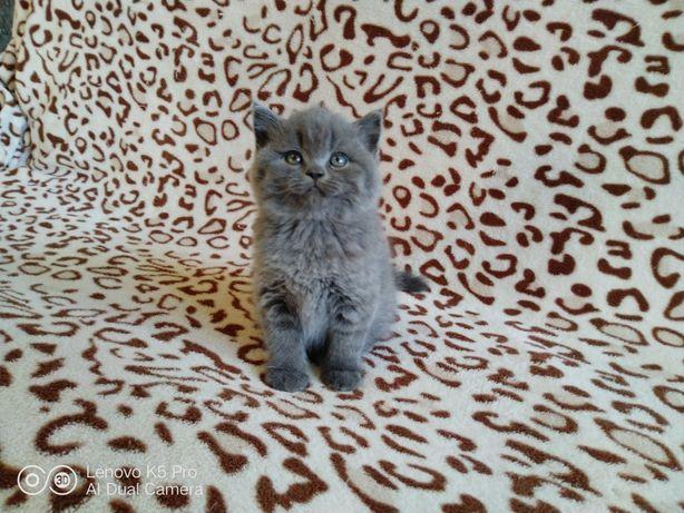 Прямовухі кошенята
