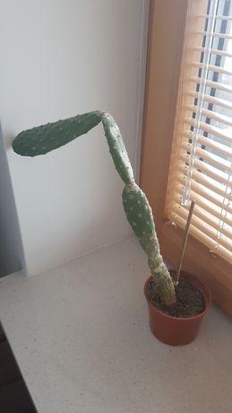Kaktus   opuncja