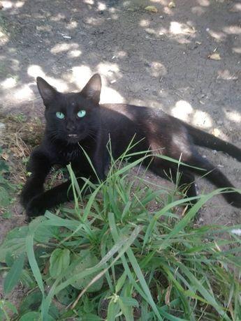 Отдам черного кота, 1 год