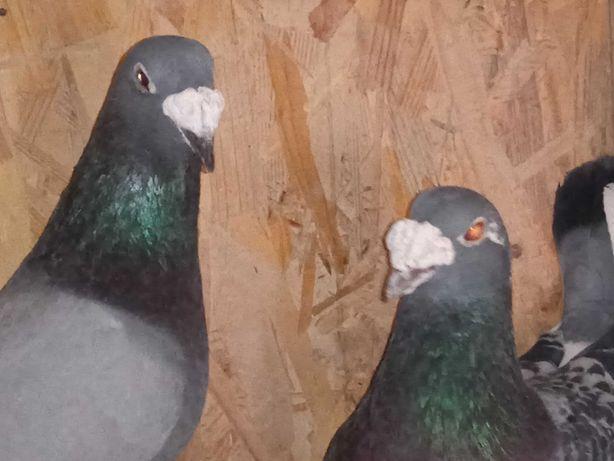 Gołębie pocztowe staropolskie