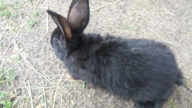 2,5 miesieczne króliki