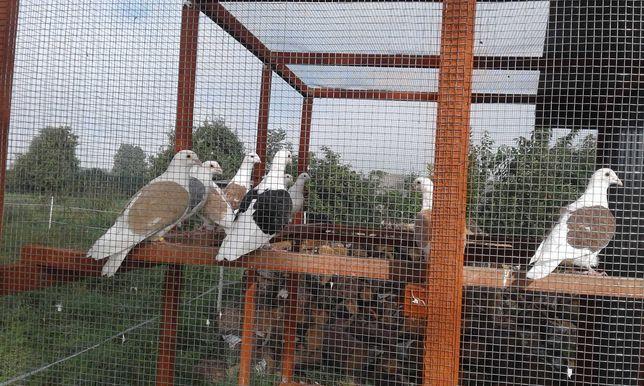 Sprzedam Gołębie Śląskie Tarczowe