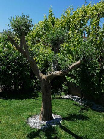 Oliveiras bonsai para jardim. A partir de 110,00€.