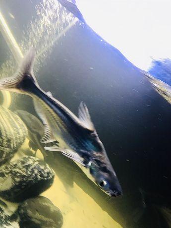 peixe pangasius 30cm