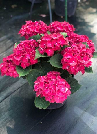 Гортензии цветущие оптом и в розницу