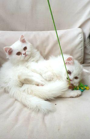 Mały biały kot, perski kotek, kocur. Pers szynszylowy.