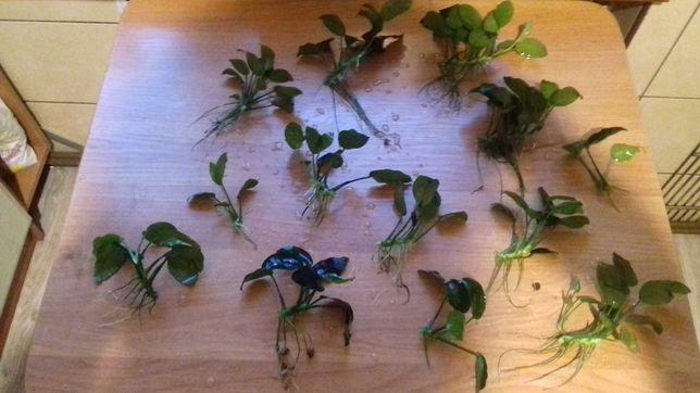 Anubias -rośliny akwariowe