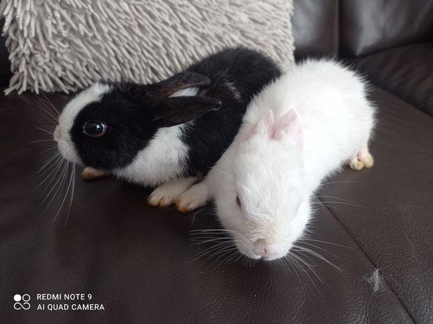 Króliczek miniaturka, króliki, królik miniaturki biały