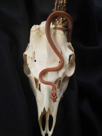 Wąż zbożowy Tessera Stripe het. Anery 66% het. Amel samiec 4.