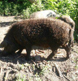 Мясо свинины полутуши (мангалица)