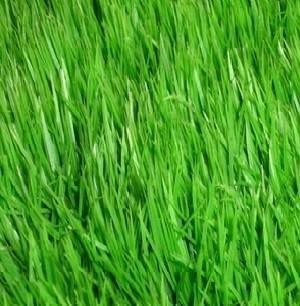 Семена газонной травы парковая, рассылка по Украине Недорого