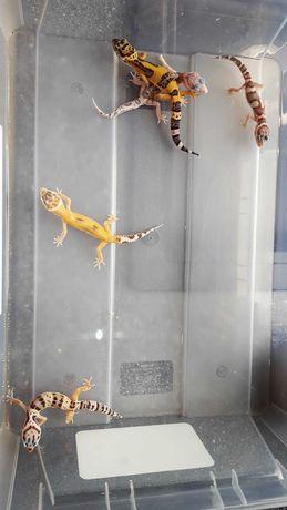 Gekony lamparcie, gekon lamparci Gdynia, jaszczurki
